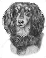 Longhaired Dachshund Art