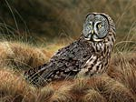 Bird Great Gray Owl Art Picture